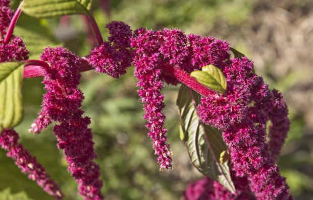 Amaranth Pflanze