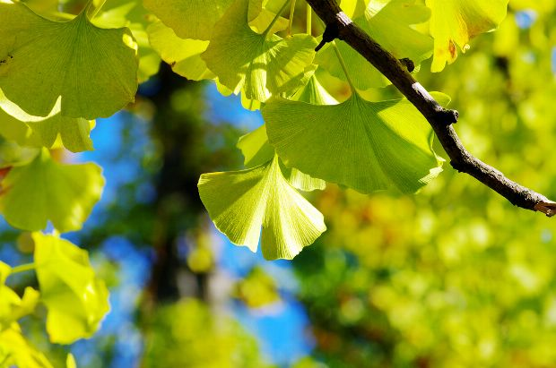 Heilpflanze Gingko